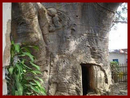 La baobab de Stanley, Boma, RDC